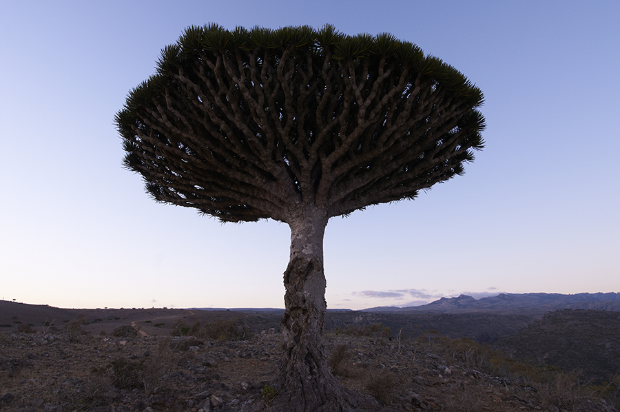 dragon_blood_tree 2